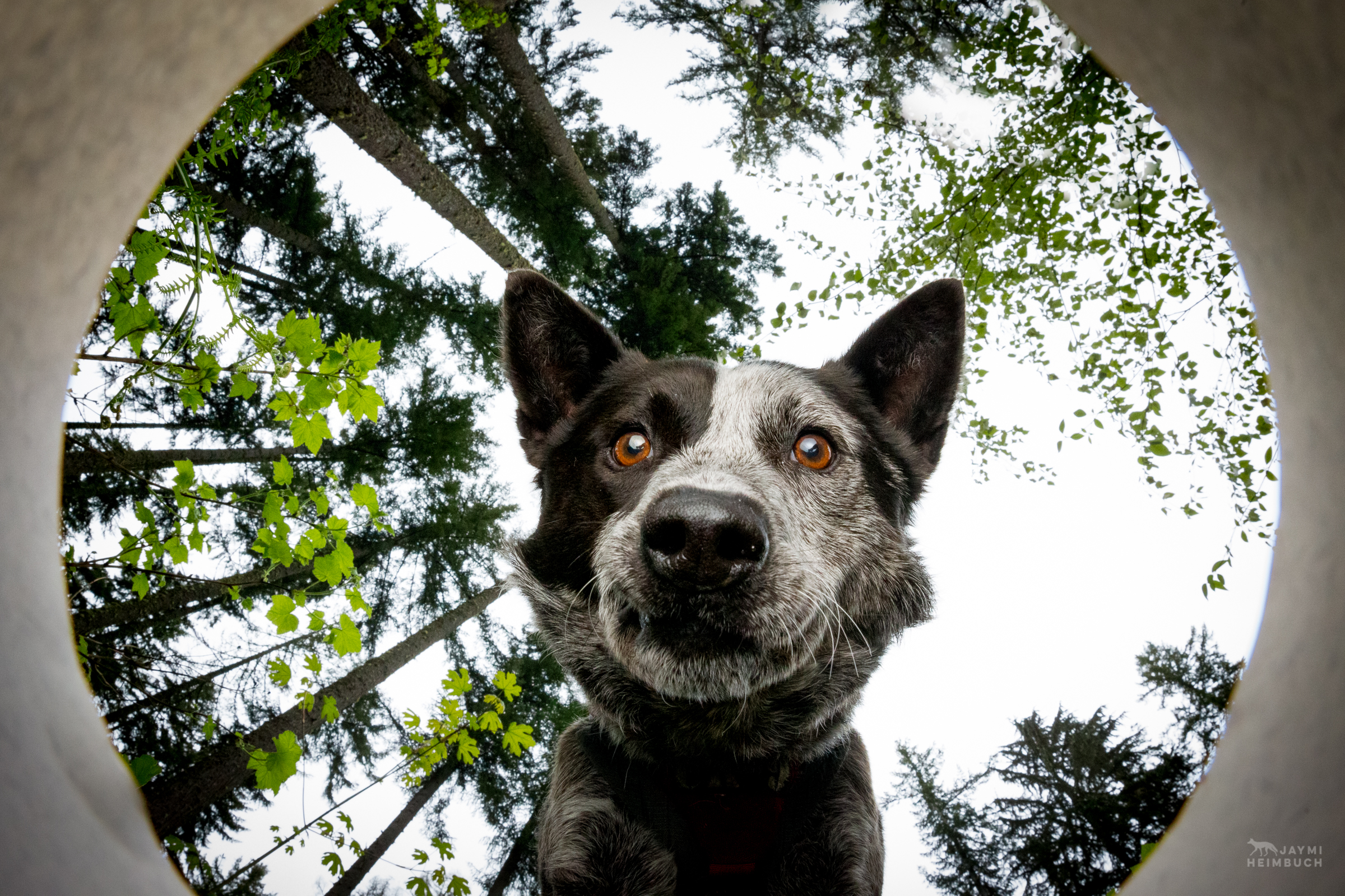 Domestic dog (Canis familiaris) adult, looks over a container as if detecting a scat sample. Dio, a cattle dog mix, is a working dog for Conservation Canines, a program of University of Washington's Center for Conservation Biology.
