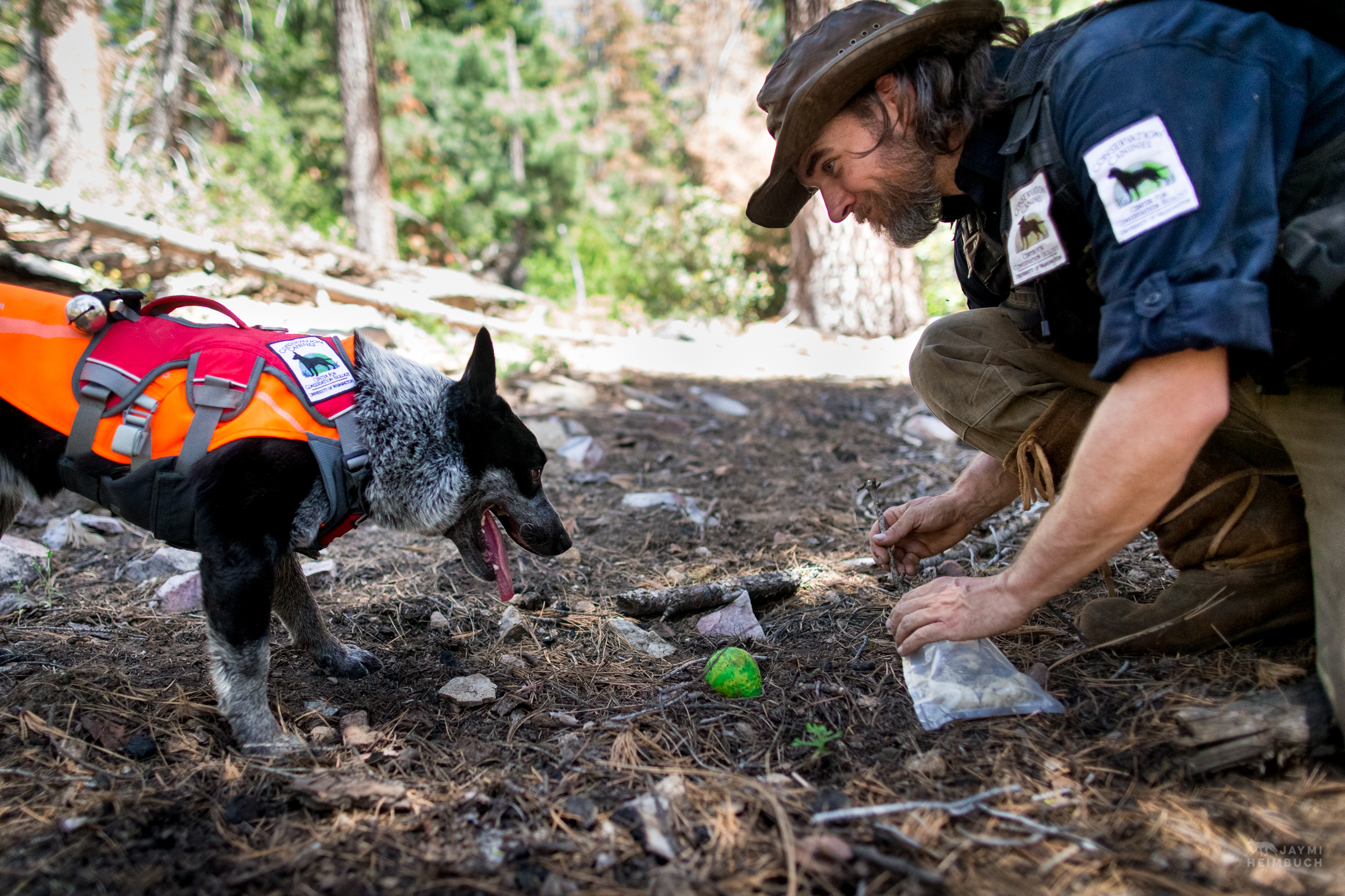 Field technician Heath Smith collects a cougar scat found by scent detection dog (canis lupus familiaris) Pips in California's Sierra Nevada mountains. The team is part of University of Washington Center for Conservation Biology's Conservation Canines program.