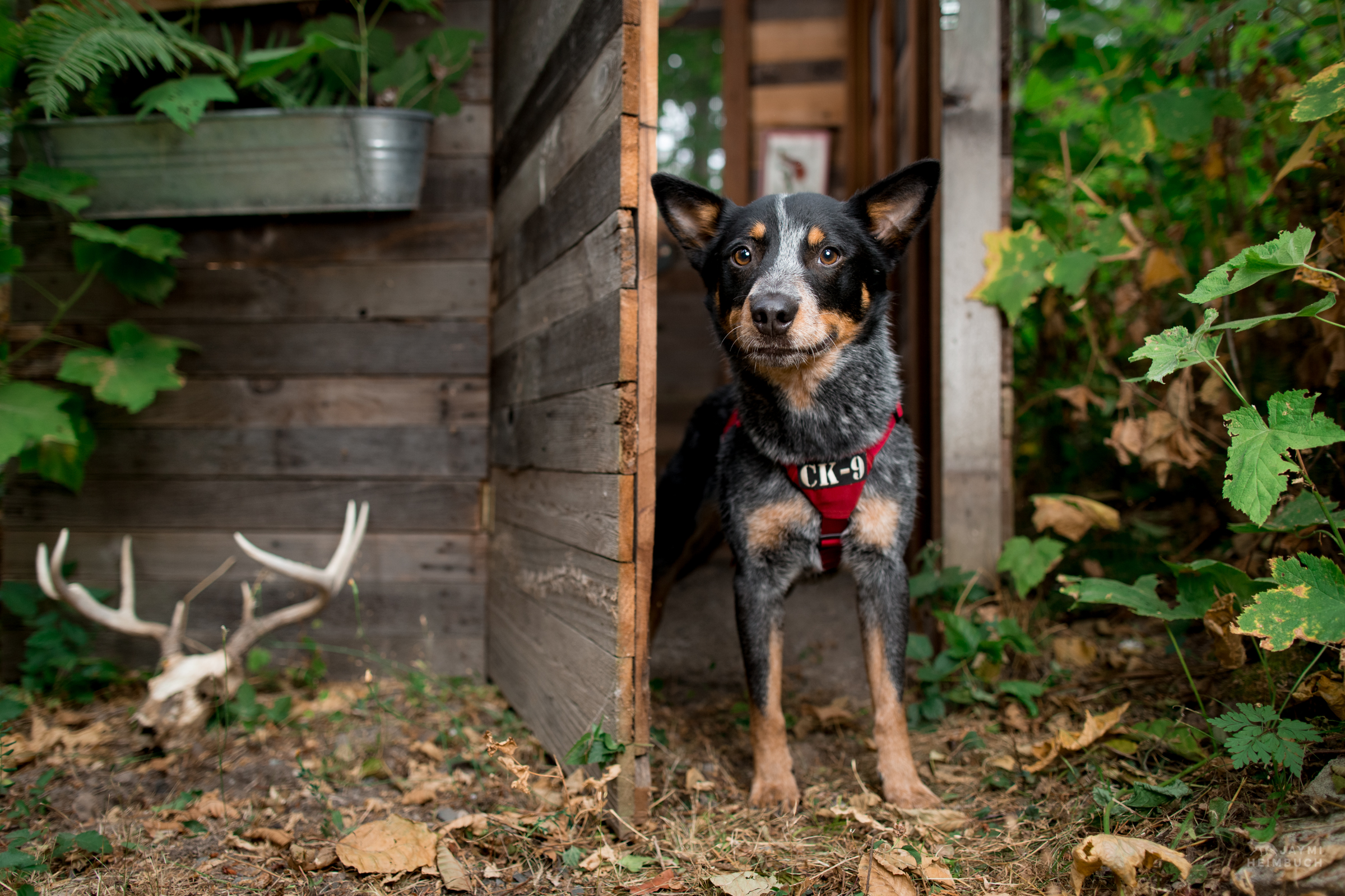 Filson, rescued scent detection dog with Conservation Canines, University of Washington's Center for Conservation Biology