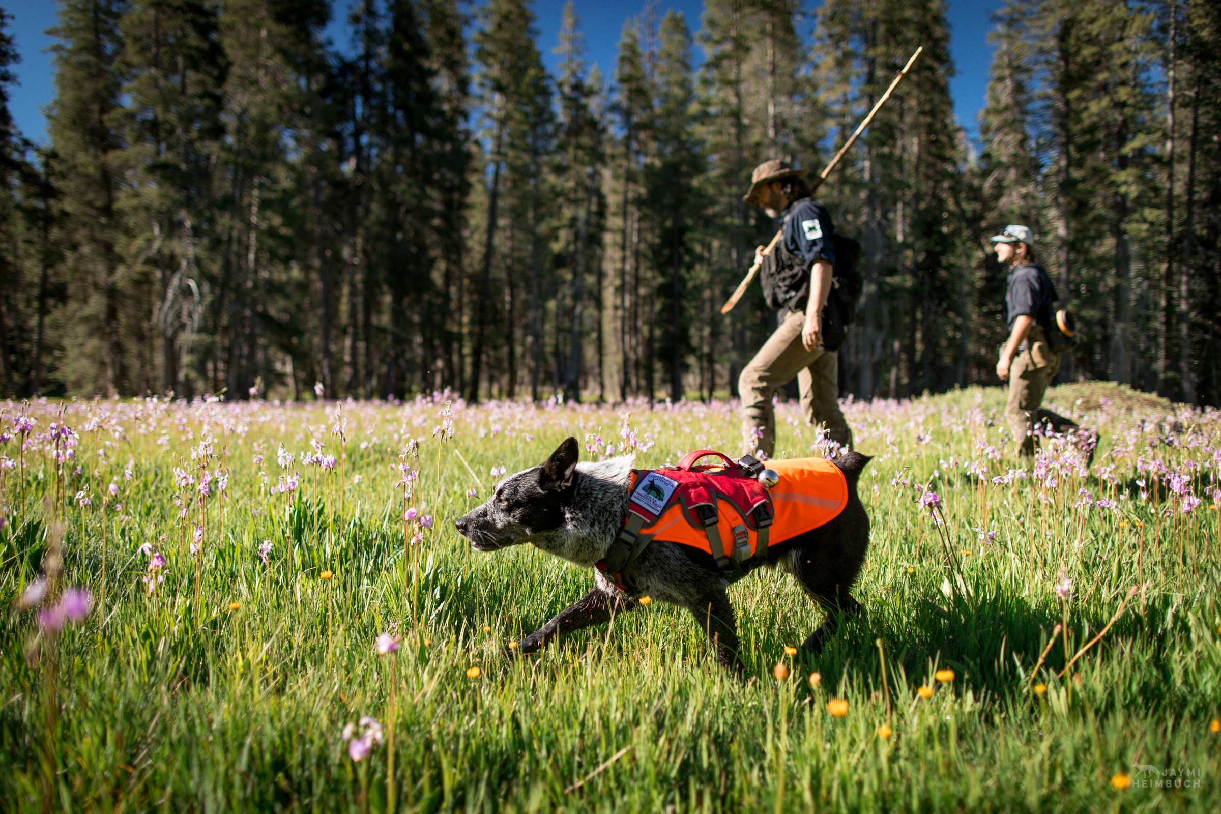 Field technicians Caleb Staneck and Heath Smith travel through a meadow in California's Sierra Nevada mountains with scent detection dog (canis lupus familiaris) Pips. The teams survey for Pacific fisher, which is under consideration as an endangered species. The team is part of University of Washington Center for Conservation Biology's Conservation Canines program.