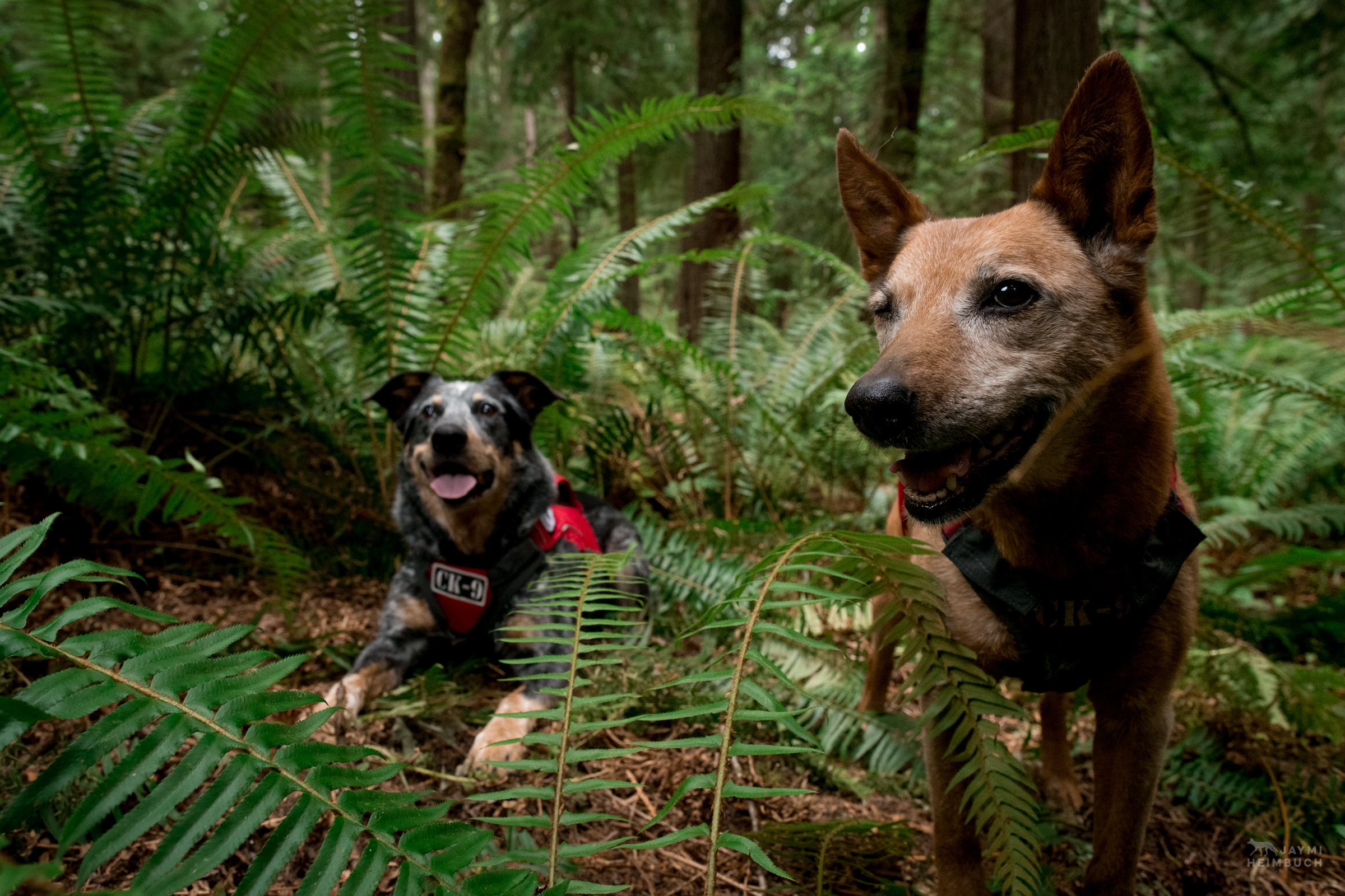 Jack and Allie,  rescued scent detection dog with Conservation Canines, University of Washington's Center for Conservation Biology