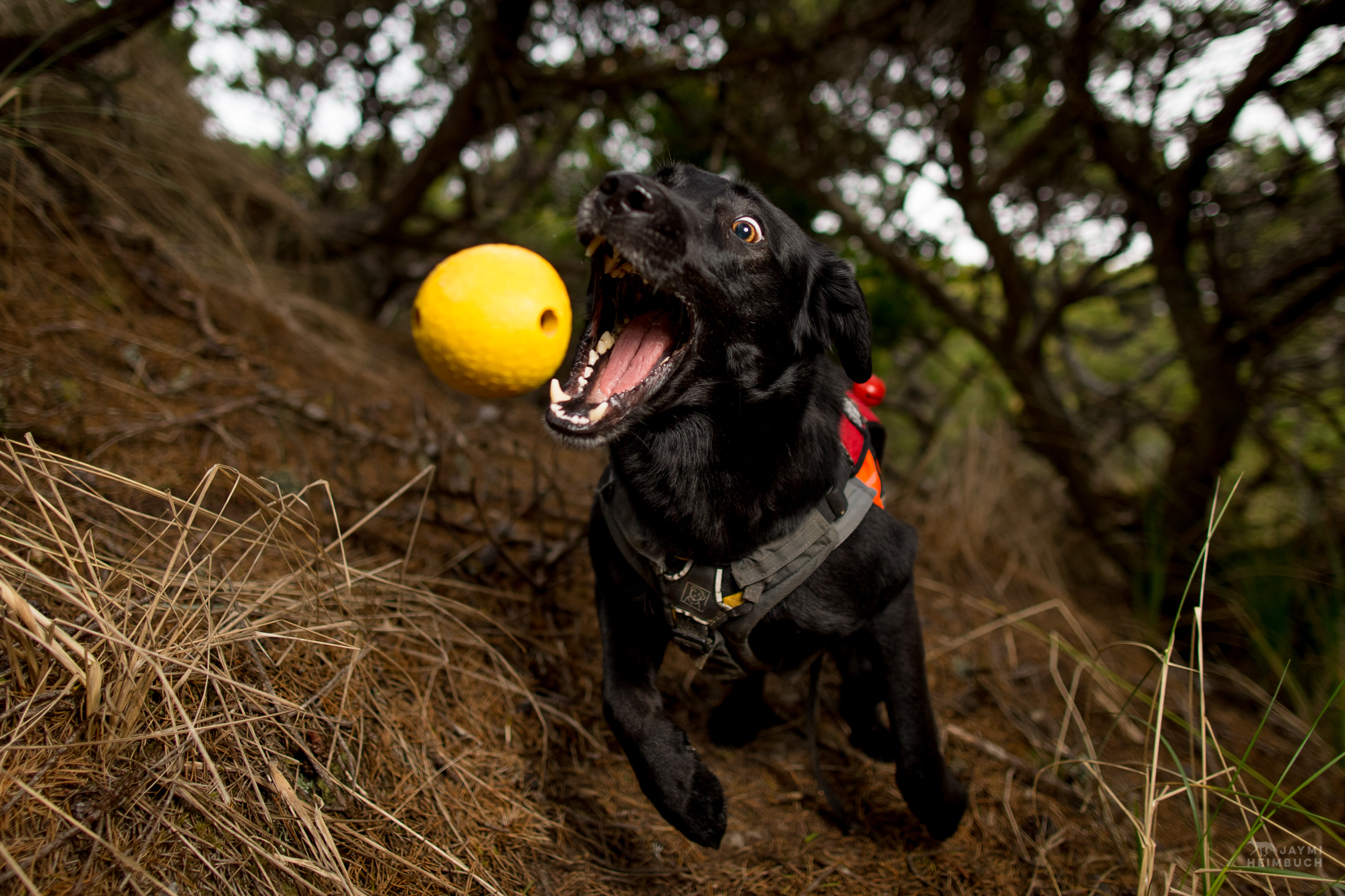 Hooper,  rescued scent detection dog with Conservation Canines,  shows off the crazy ball drive that is a requirement for any animal adopted by the program, part of University of Washington's Center for Conservation Biology
