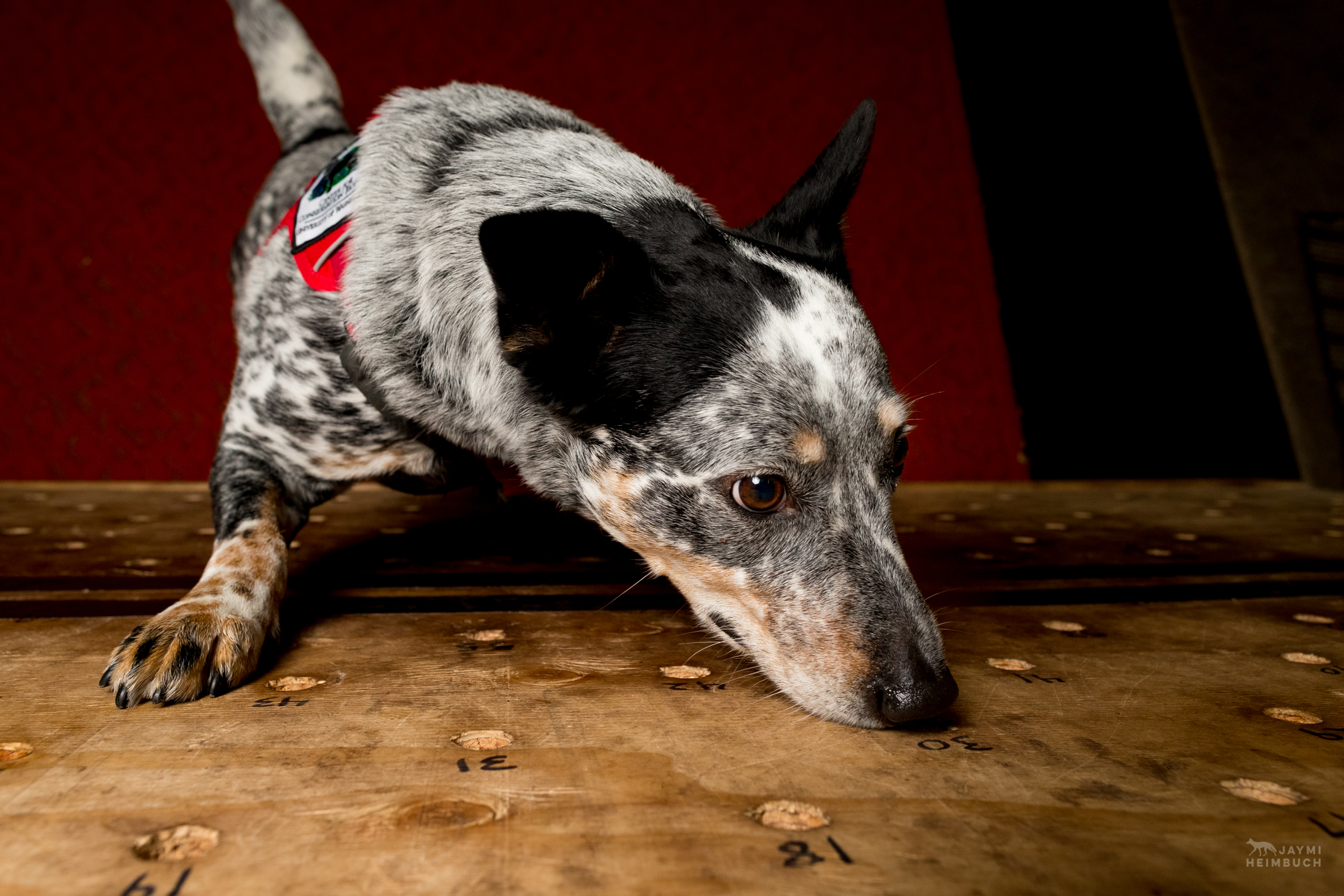 Domestic dog (Canis familiaris) adult sniffing at a scent detection training board. Zilly, a cattle dog mix, is a working dog for Conservation Canines, a program of University of Washington's Center for Conservation Biology.
