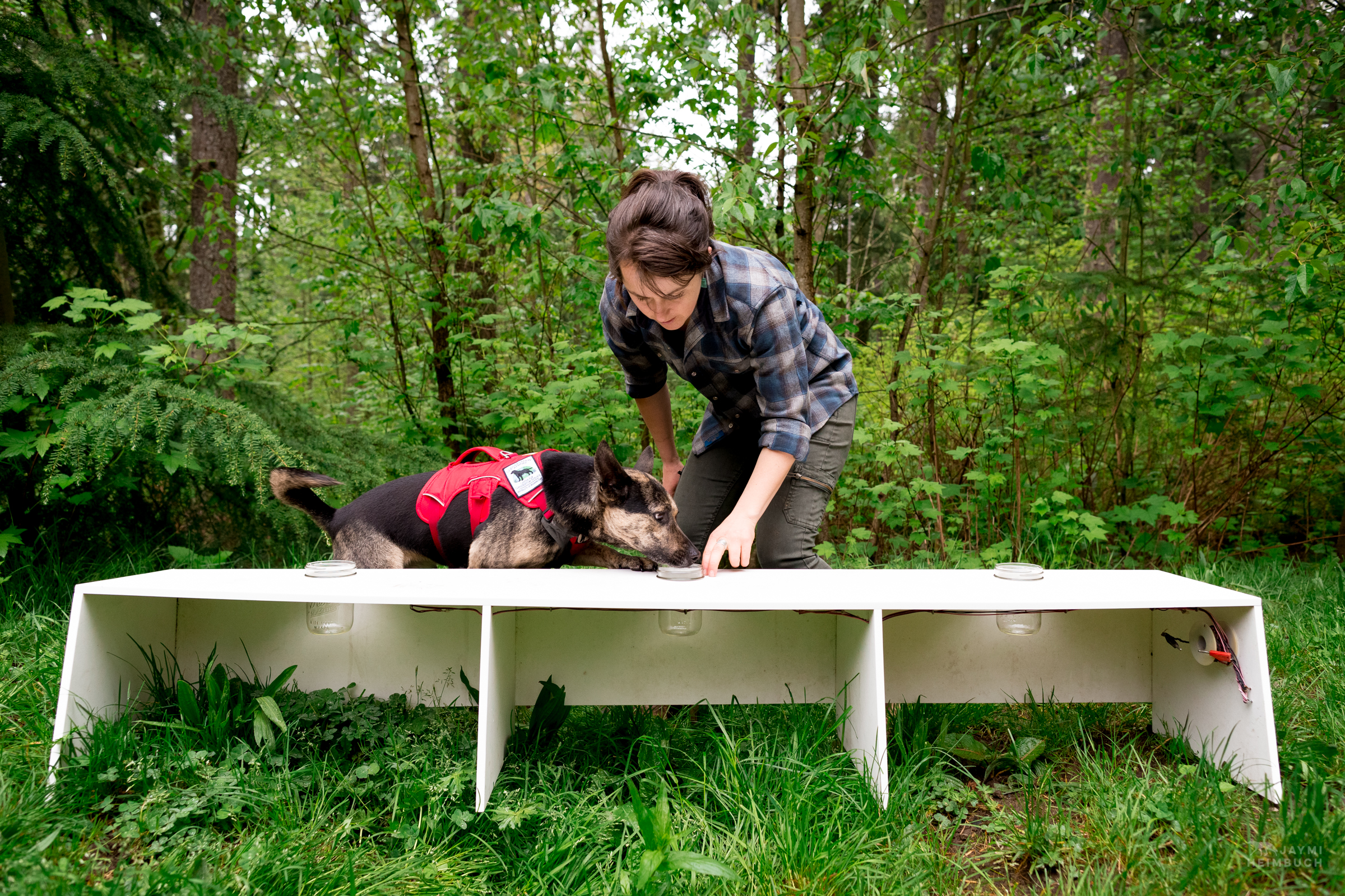 Domestic dog (Canis familiaris) adult with handler Suzie Marlow working at a scent detection training exercise. Skye, a mixed breed dog, is a working dog for Conservation Canines, a program of University of Washington's Center for Conservation Biology.