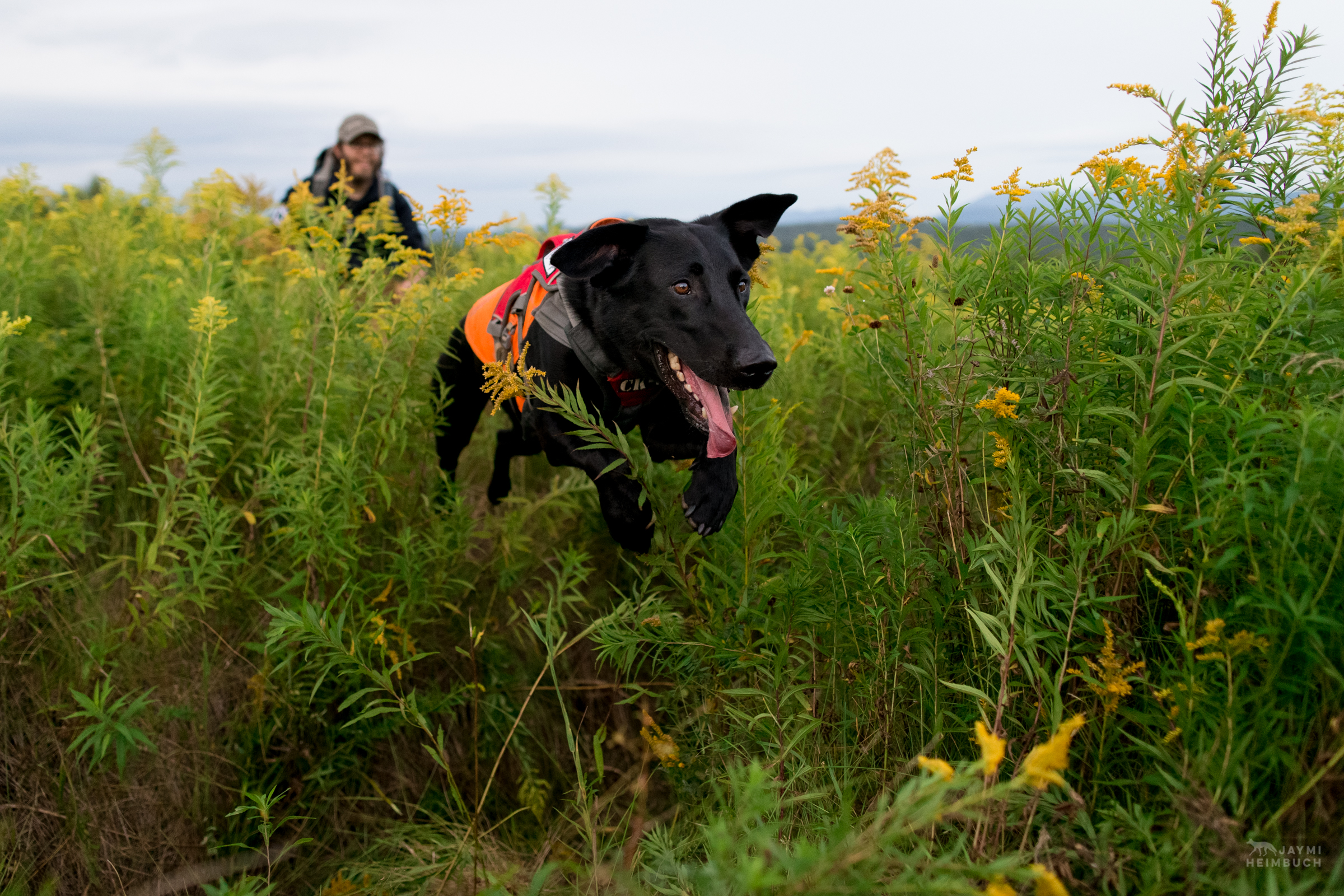 Scent detection dog (canis lupus familiaris) Ranger with University of Washington Center for Conservation Biology's Conservation Canines program searches for moose scat in New York's Adirondack mountains. The scat is collected by his handler, Justin Broderick, for a study on the species.