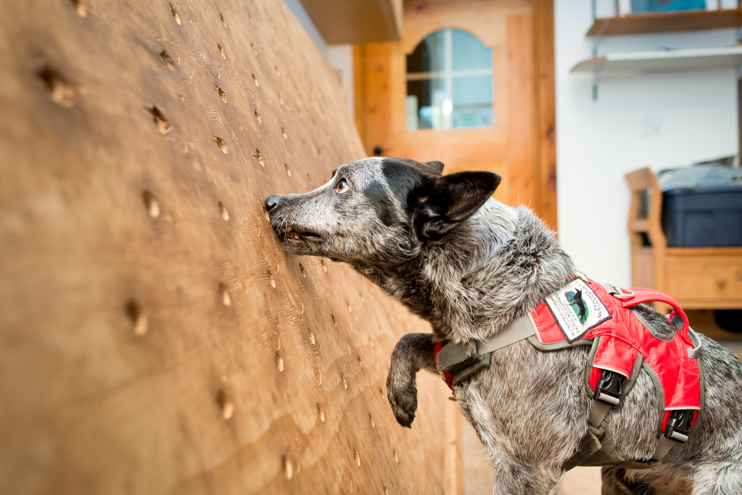 Dio, a rescued cattle dog, trains on scent detection at Conservation Canines, University of Washington's Center for Conservation Biology, Washington