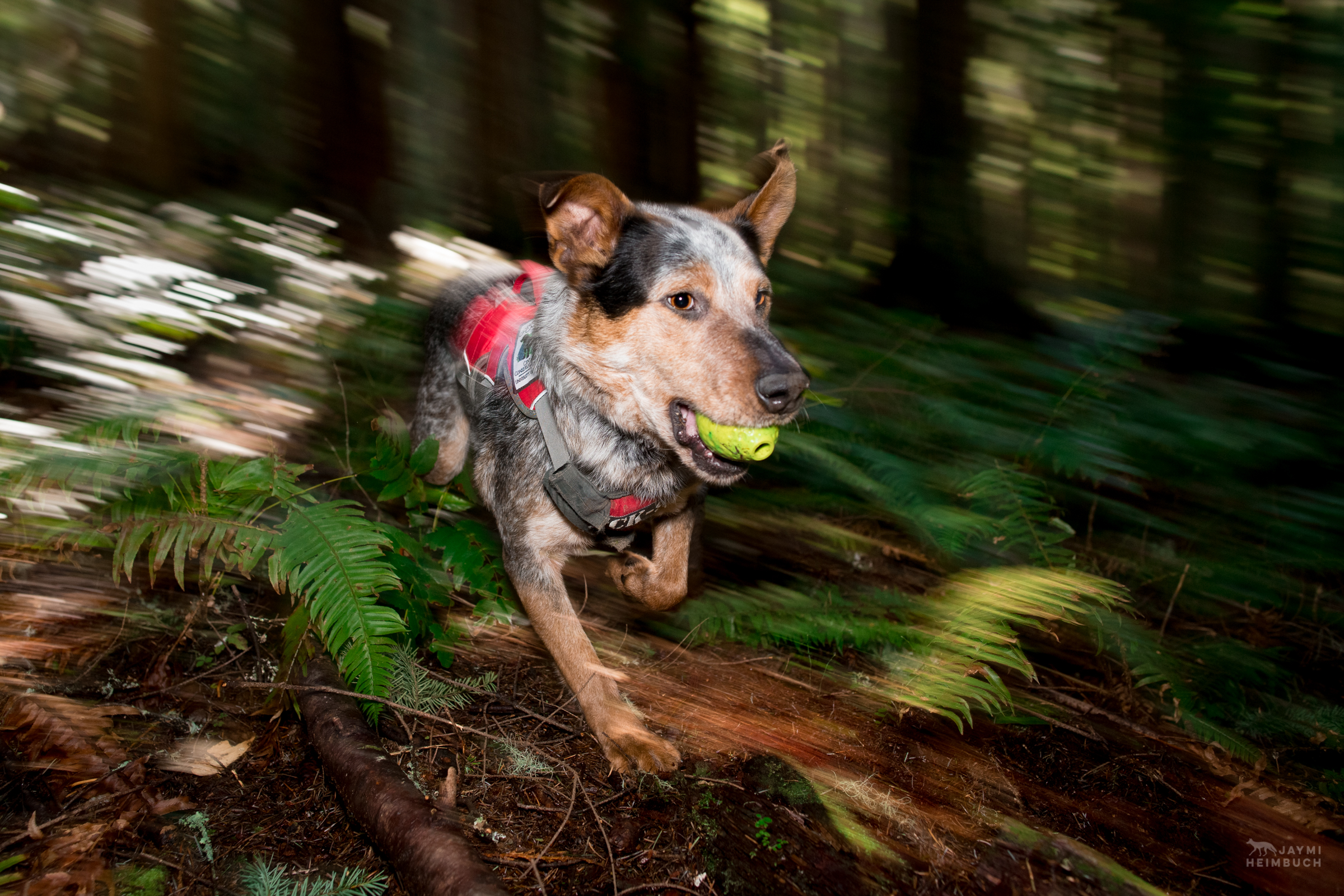 Hiccup, a rescued dog, runs through the forest with his reward ball. He is employed as a scent detection dog at Conservation Canines, University of Washington's Center for Conservation Biology, Washington