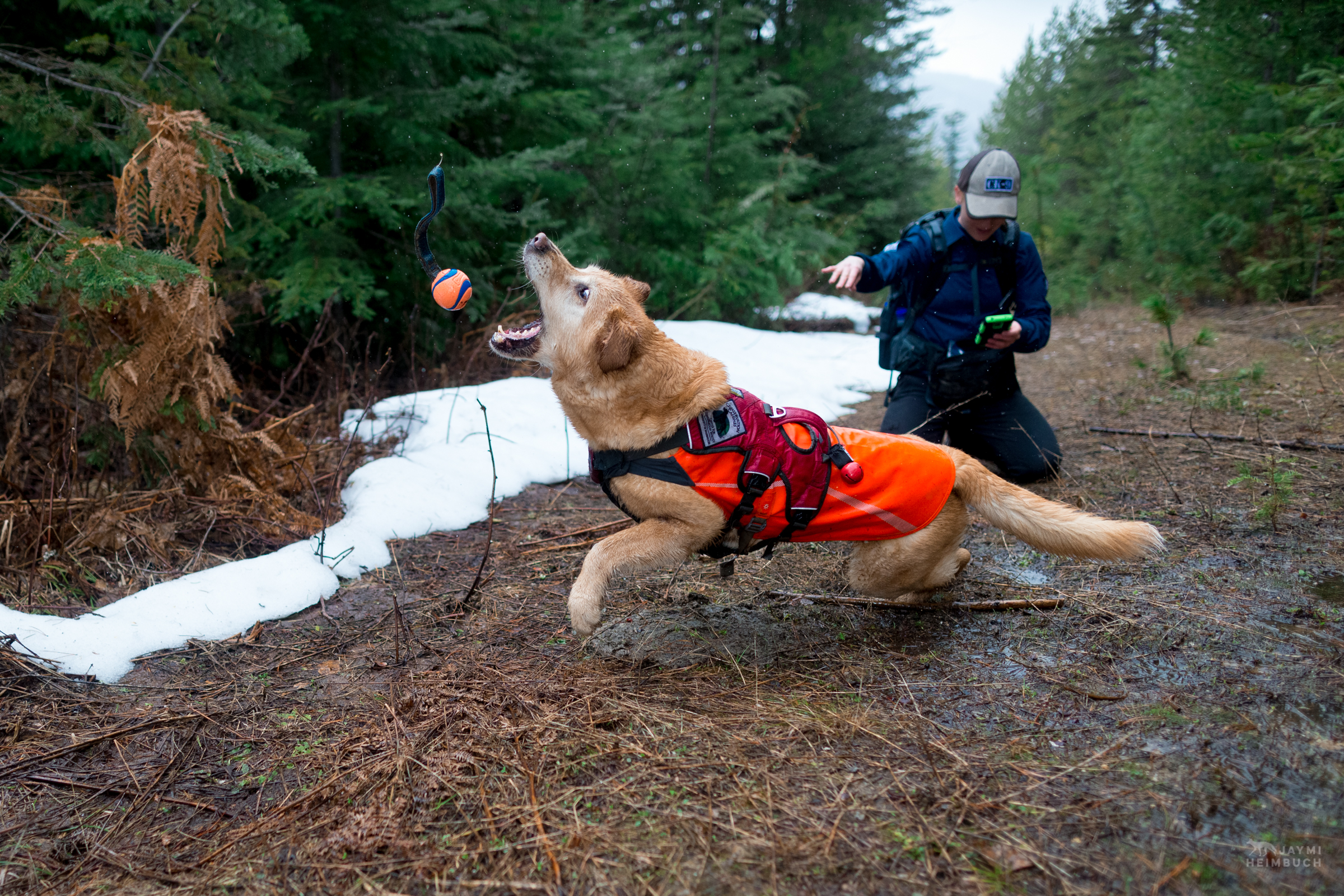 Field technician Rachel Katz recording a sample found by scent detection dog Chester,  and also throwing his reward ball for him - Conservation Canines, University of Washington's Center for Conservation Biology, Washington