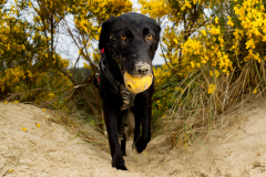 Domestic dog (Canis familiaris) adult on beach. Hooper, a labrador mix, is a working dog for Conservation Canines, a program of University of Washington's Center for Conservation Biology.