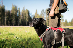 Field technician Caleb Staneck and scent detection dog (canis lupus familiaris) Winne travel through a meadow in California's Sierra Nevada mountains, surveying for Pacific fisher, which is under consideration as an endangered species. The team is part of University of Washington Center for Conservation Biology's Conservation Canines program.