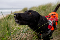 Hooper,  rescued scent detection dog with Conservation Canines, University of Washington's Center for Conservation Biology