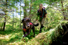 Scent detection dog (canis lupus familiaris) Scooby with University of Washington Center for Conservation Biology's Conservation Canines program searches for moose scat in New York's Adirondack mountains. The scat is collected by his handler for a study on the species.