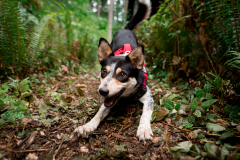 Athena,  rescued scent detection dog with Conservation Canines, University of Washington's Center for Conservation Biology