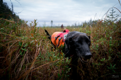 Scent detection dog (canis lupus familiaris) Scooby with University of Washington Center for Conservation Biology's Conservation Canines program working in the Adirondacks searching for moose scat.