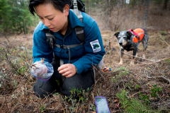 Field technician Colette Yee collecting a raptor foot found by scent detection dog Jack, Conservation Canines, University of Washington's Center for Conservation Biology, Washington