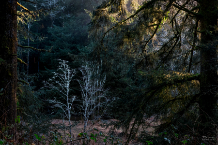 Forest scene of central coast of Oregon