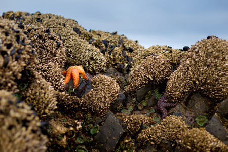 Ochre sea stars and mussels in tide pools, Seal Rock State Park, Oregon