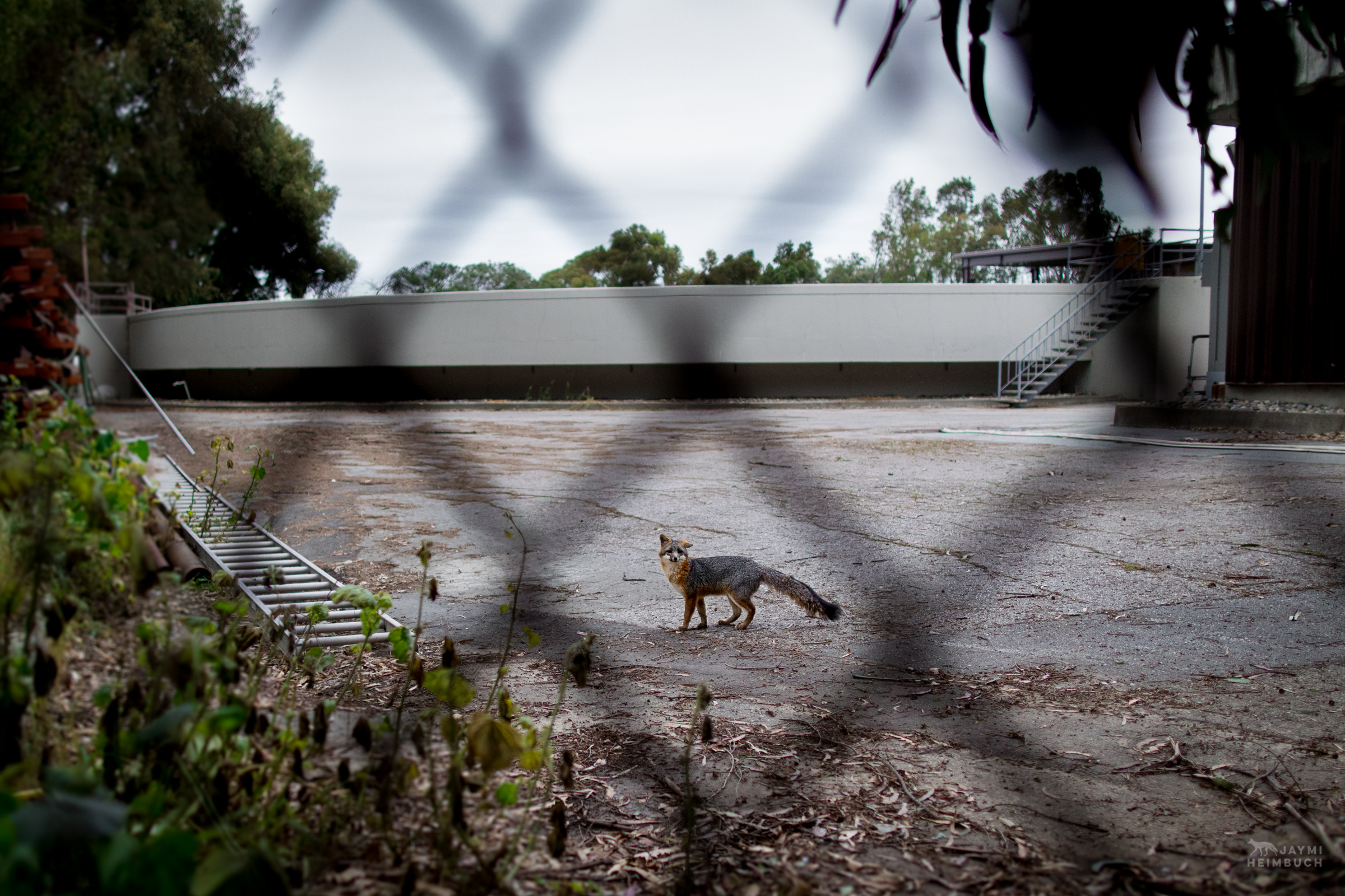 Gray fox (Urocyon cinereoargenteus) adult in a water treatment plant, Palo Alto, California. This fox was monitored by a local wildlife project investigating the territories and habits of a small urban gray fox population and the need for wildlife corridors for genetic diversity. Since this image was taken, the entire population of foxes in the area was wiped out by a canine distempter outbreak. Gray foxes are only recently starting to return to the area.