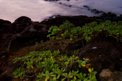Naupaka (Scaecola) at sunrise, Kauai, Hawaii