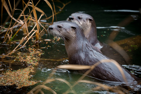 North American River Otter (Lontra canadensis) adults, Newport, Oregon