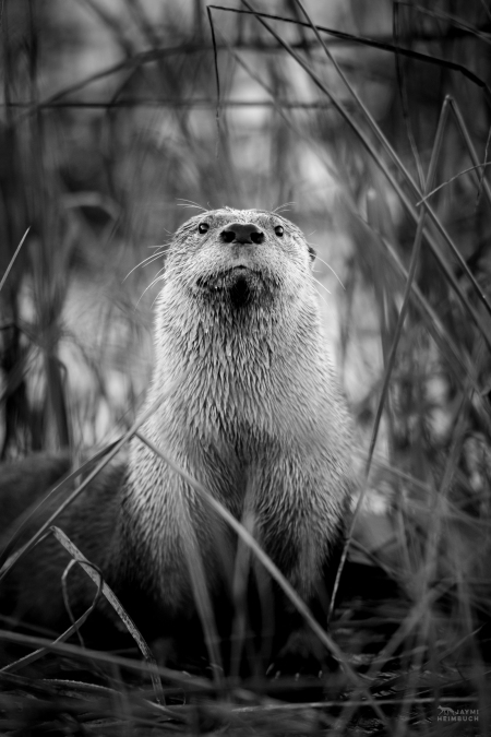 North American river otter (Lontra canadensis) adult male named Sutro Sam by the public, San Francisco, California
