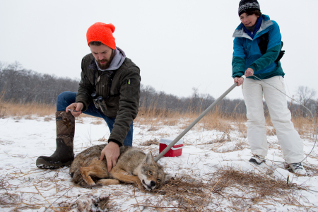 Coyote (Canis latrans) biologist, Marcus Mueller, prepares to inject a sedative into a coyote as a volunteer holds a pole restraint to keep the coyote in place in a nature preserve near University of Wisconsin-Madison, Madison, Wisconsin.