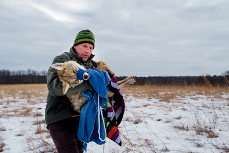 A sedated Coyote (Canis latrans) adult female carried by biologist David Drake, lead of the Urban Canid Research Project of  University of Wisconsin-Madison. Coyotes are trapped and collared in winter, but when temperatures dip too low, the team will carry the coyote into a warm vehicle for processing to ensure its core temperature doesn't dip too low. The research looks at the spacial-temporal overlap of coyote and fox territories in the Madison area, and also does a lot to inform the community about coyote coexistence.