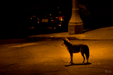 Coyote (canis latrans) female standing in city street, San Francisco, California. This resident coyote is well-known in the neighborhood, with some neighbors pleased at her presence and others unnerved.