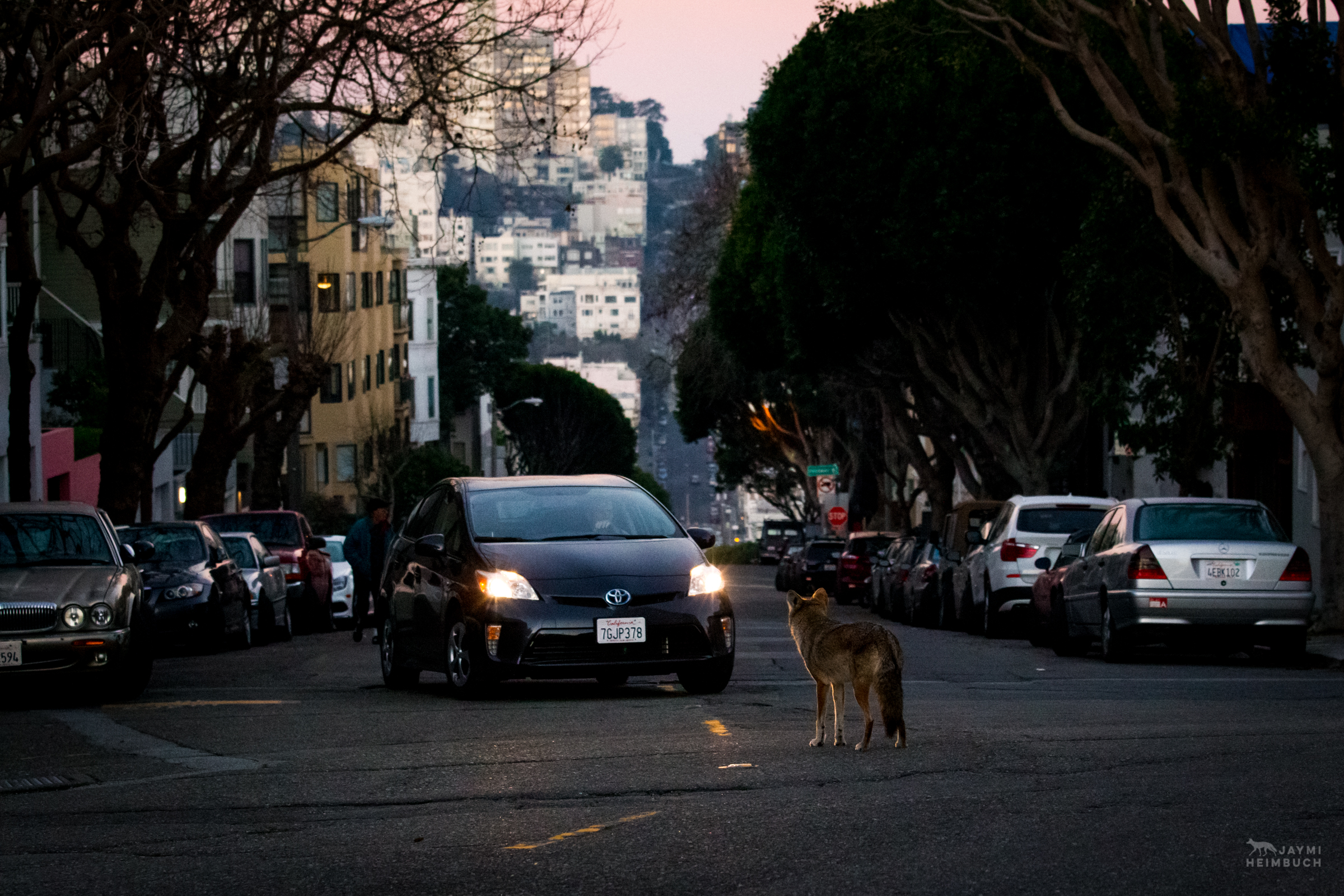 Coyote (canis latrans) female crossing street in front of oncoming car, San Francisco,  California