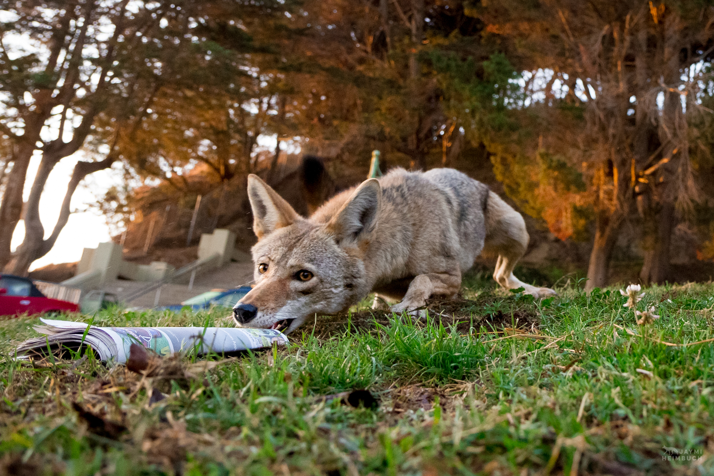 Coyote (canis latrans) adult female with newspaper, San Francisco, California