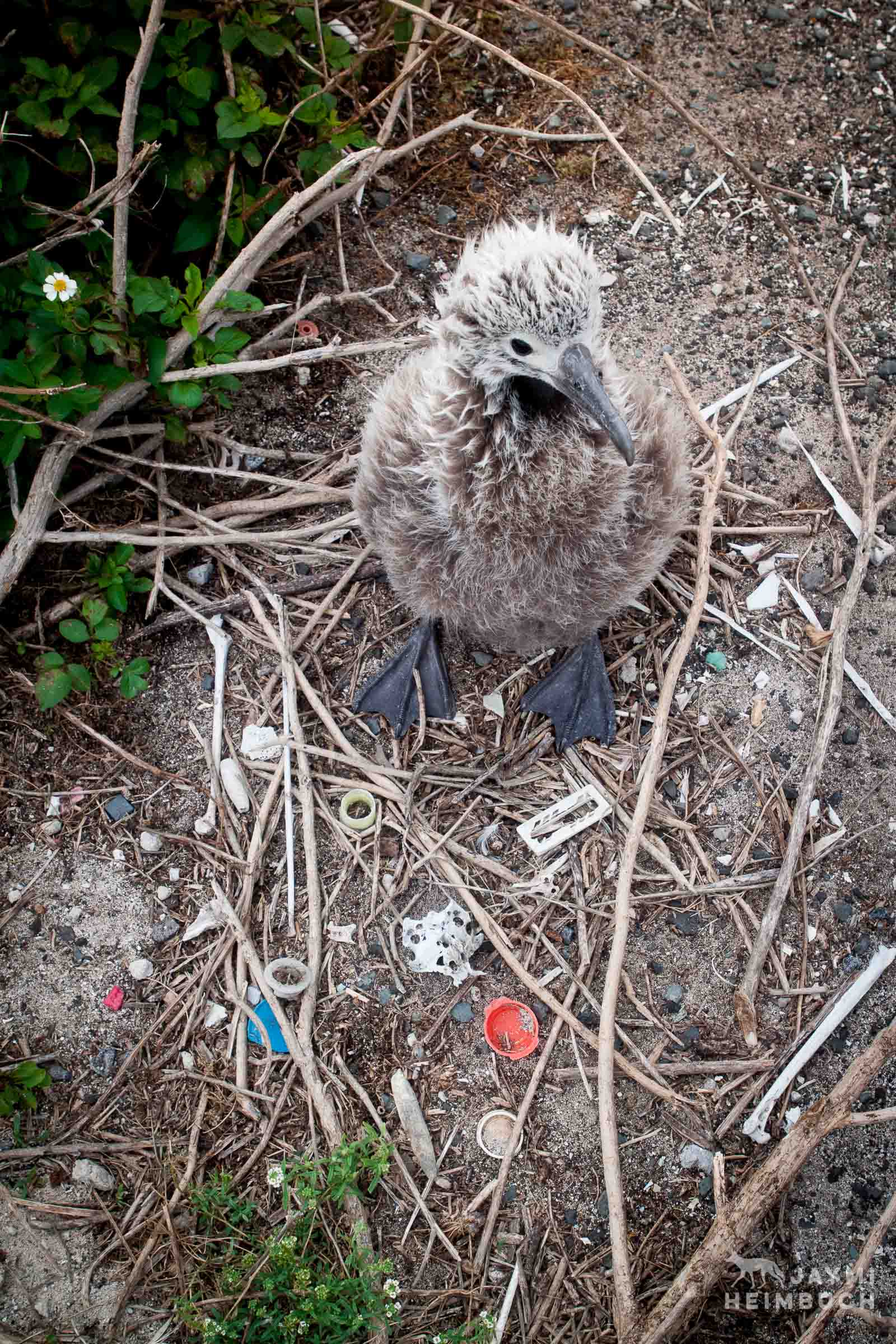 Laysan albatross (Phoebastria immutabilis) chick at nest with bones and plastic, Midway Atoll