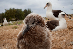 laysan albatross, midway atoll, plastic pollution