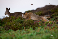 Coyote (canis latrans) adult female hunting yearling mule deer, Marin Headlands, California