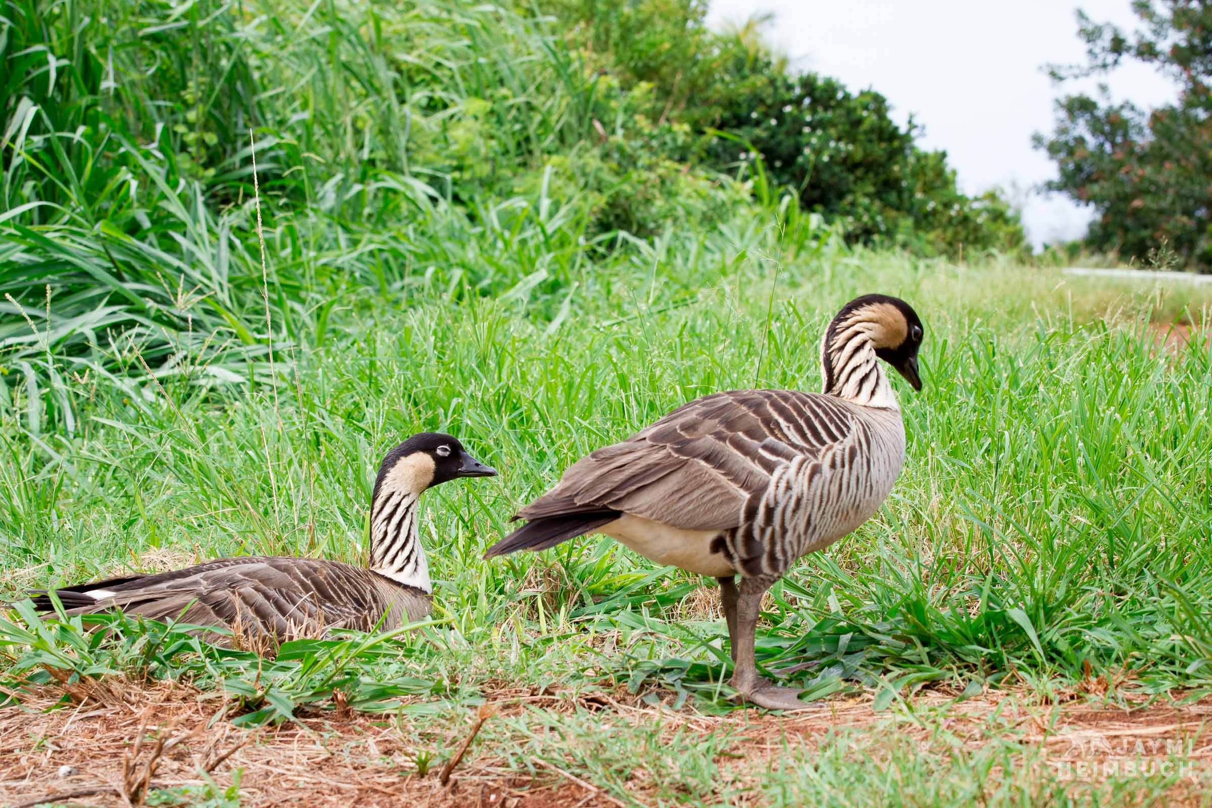 Wild Adult Hawaiian Goose