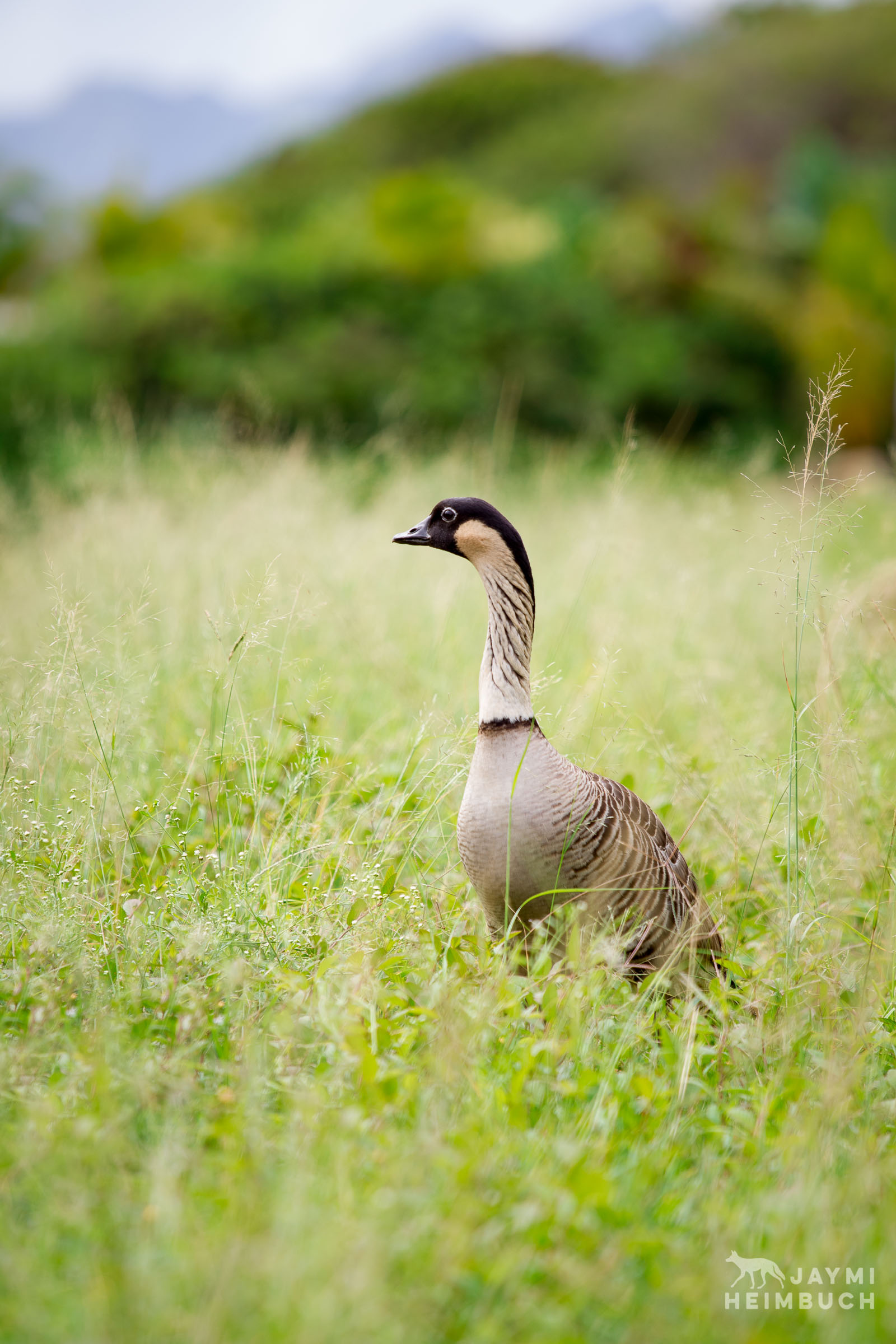 Unbanded wild adult Hawaiian Goose, Branta sandvicensis. This species is listed as Vulnerable by IUCN