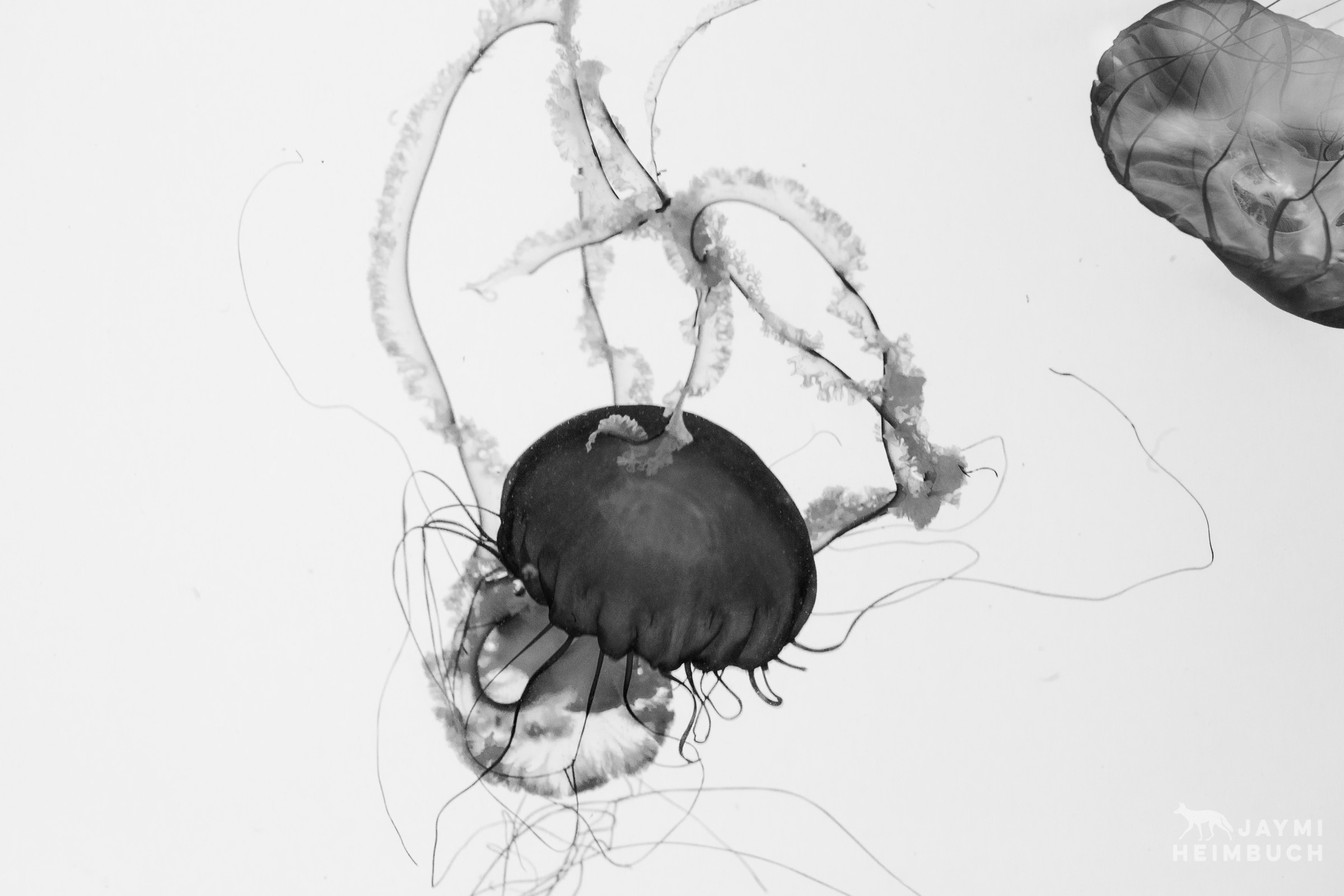 jellyfish in black and white