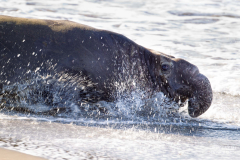 northern elephant seal, san simeon, california