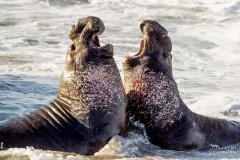 Northern elephant seal (Mirounga angustirostris) males fighting, Piedras Blancas, San Simeon, California