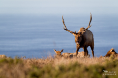 point reyes national seashore, pierce point ranch, tule elk