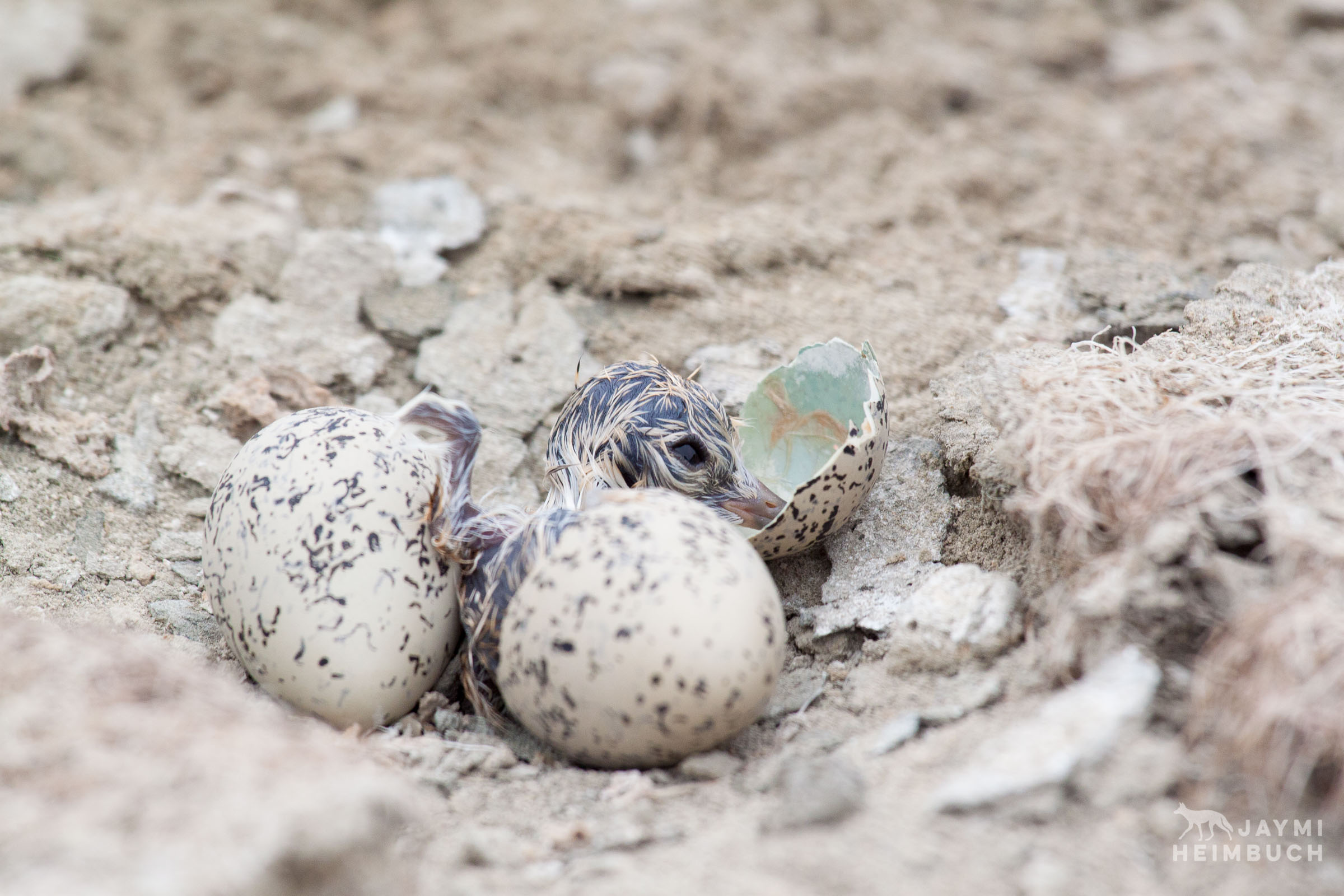 Western snowy plover (Charadrius nivosus) chick hatching from egg, Milpitas, California
