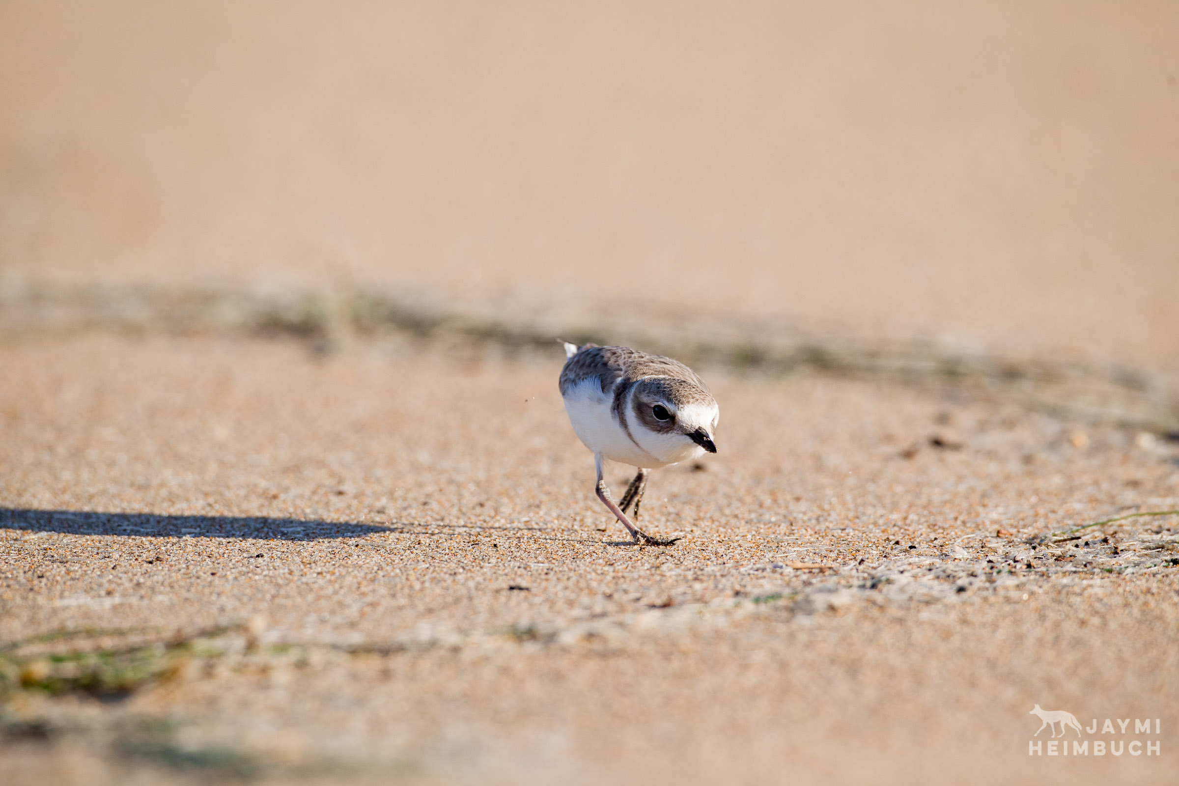 western snowy plover preservation, san francisco bay area, california
