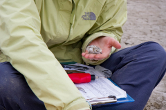 Waterbird researcher Caitlin Robinson-Nilsen handles western snowy plover (Charadrius nivosus) chick during banding, Milpitas, California