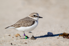 Western snowy plover (Charadrius nivosus) banded adult, Lompoc, California