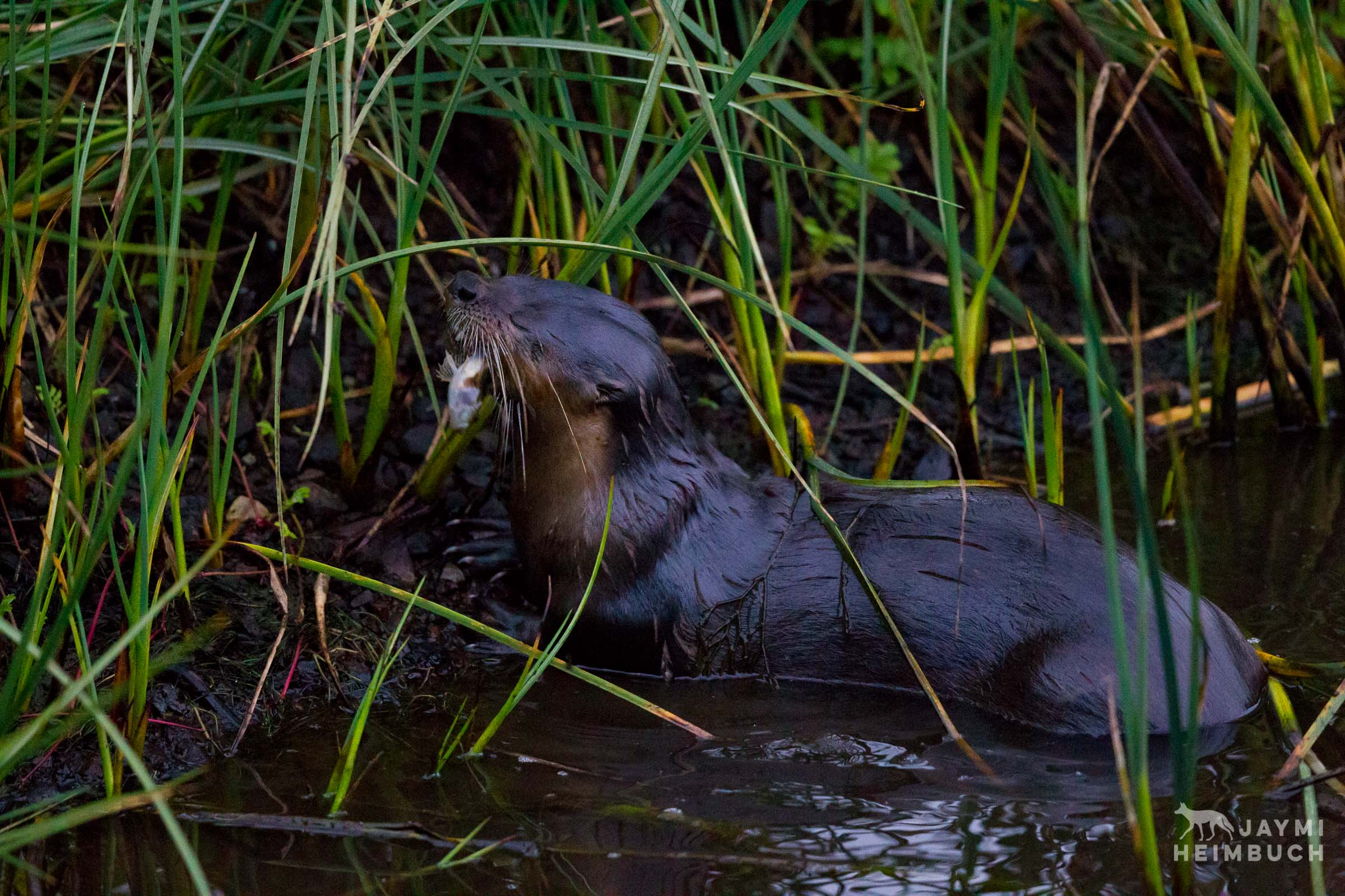 north american river otter, san francisco bay area, california