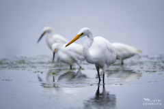 white egret and snowy egrets