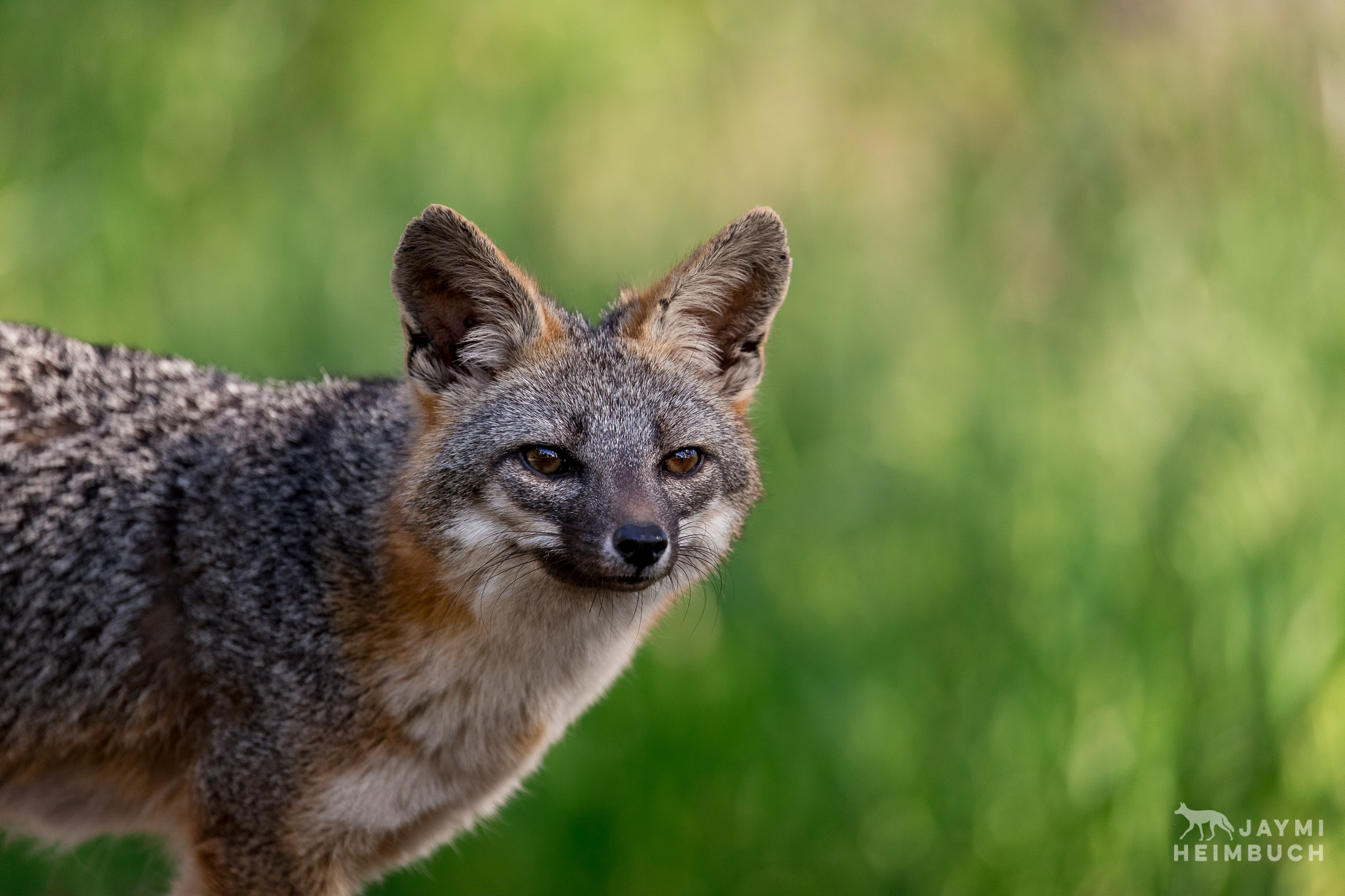 Gray fox (Urocyon cinereoargenteus) female standing against green grass, Palo Alto, California