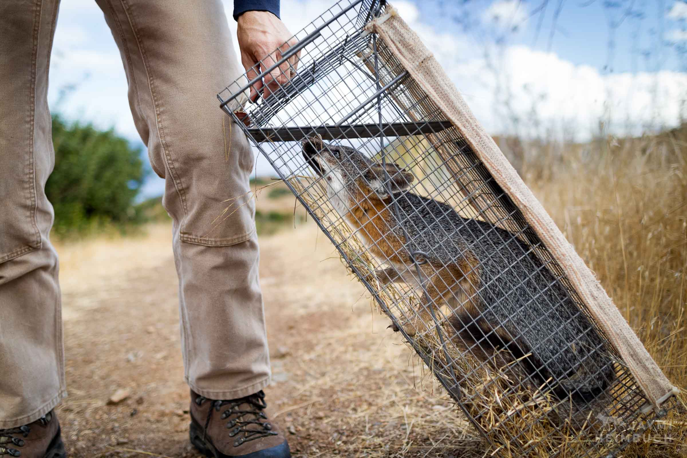 Channel Island Fox, Urocyon littoralis catalinae, being examined by researcher Julie King, Santa Catalina Island,  California, United States. The Channel Island foxes experienced the fastest recovery of any mammal under the Endangered Species Act. However, on Catalina Island, the disease threats that originally harmed the island's unique fox population are still present as the island hosts an average of 1 million tourists each year - and their pets. Without a way to eliminate the human-caused threats, conservation efforts will continue into perpetuity.