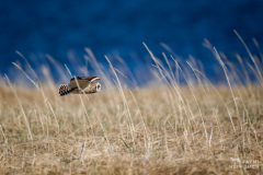short-eared owl in flight, nome alaska