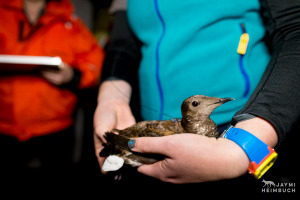 Oregon State University research team banding endangered marbled murrelet birds at night on the ocean, Newport, Oregon.
