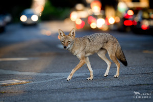 urban coyote in city street